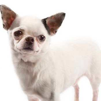 Chihuahua Picture