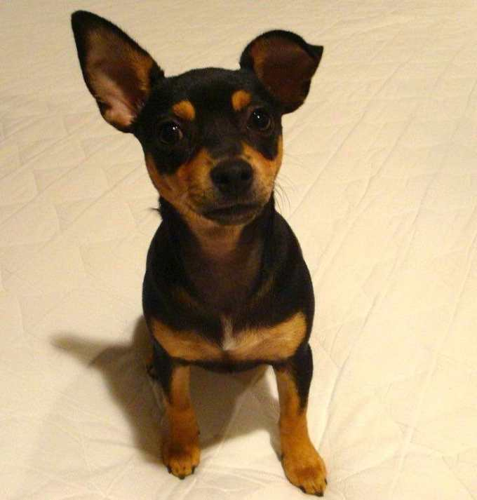 Chihuahua Pinscher Mix For Sale