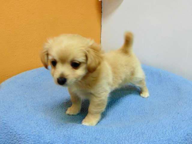 Chihuahua Pomeranian Mix For Sale