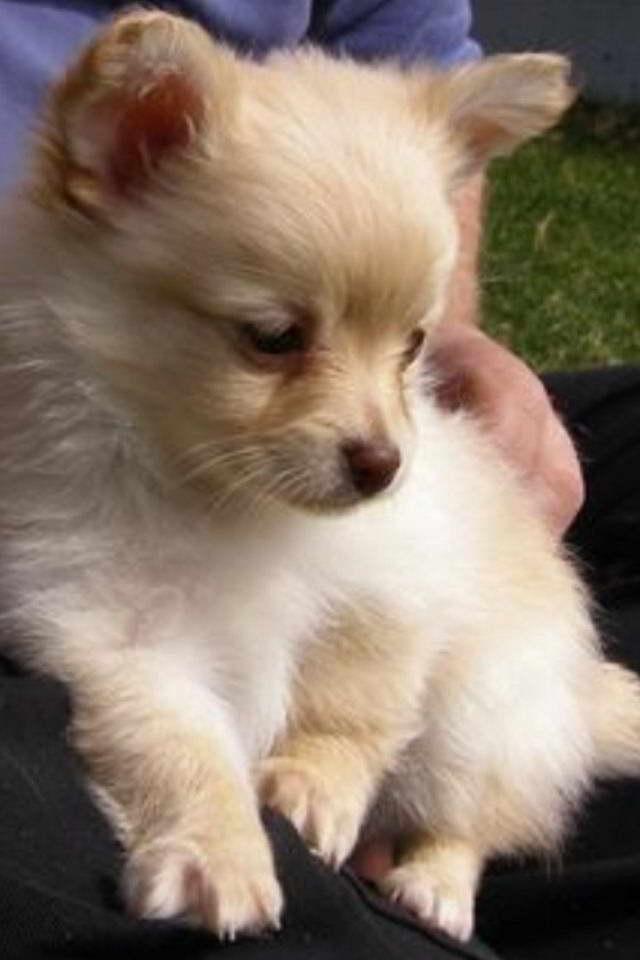 Chihuahua Pomeranian Mixed Puppies