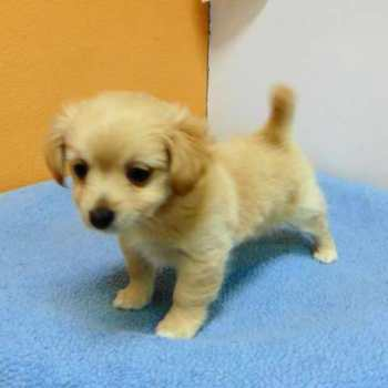 Chihuahua Pomeranian Puppies For Sale