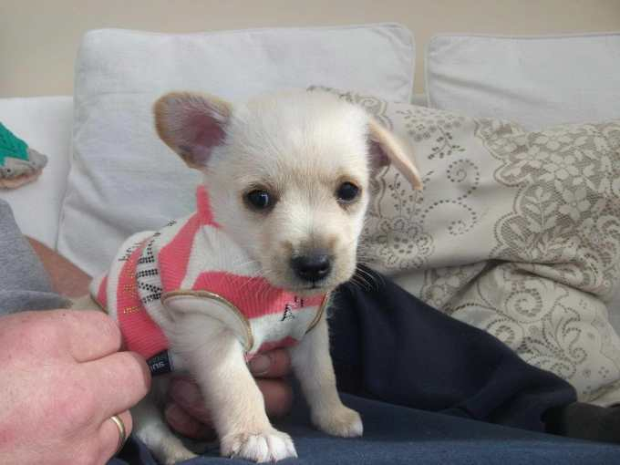 Chihuahua Poodle Mix Puppy