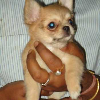 Chihuahua Pricing