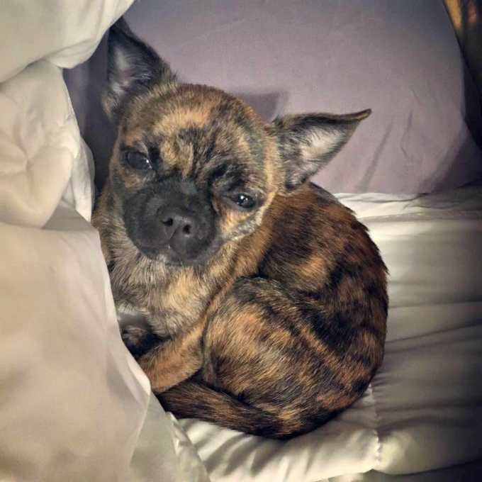 Chihuahua Pug Mix For Adoption