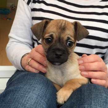 Chihuahua Pug Mix For Sale