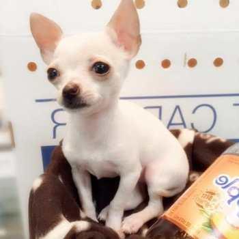 Chihuahua Puppies Albany Ny
