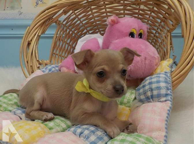 Chihuahua Puppies Atlanta