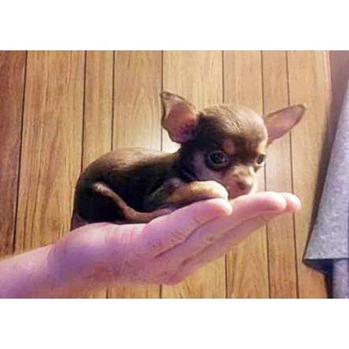 Chihuahua Puppies California