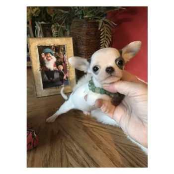 Chihuahua Puppies For Sale Bay Area