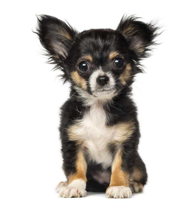 Chihuahua Puppies For Sale Buffalo Ny