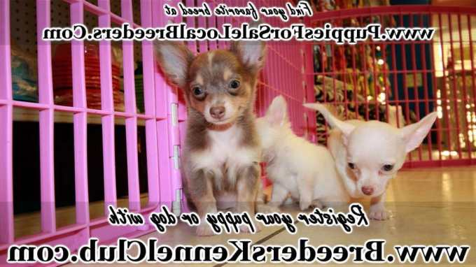 Chihuahua Puppies For Sale Ga