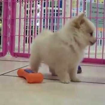 Chihuahua Puppies For Sale In Atlanta Ga