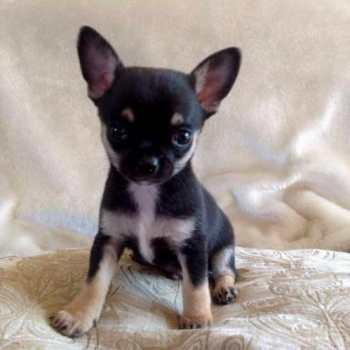 Chihuahua Puppies For Sale In Cincinnati Ohio