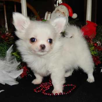 Chihuahua Puppies For Sale In Illinois
