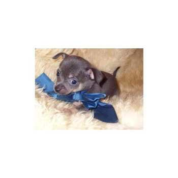 Chihuahua Puppies For Sale In Jackson Ms