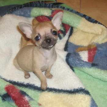 Chihuahua Puppies For Sale In Knoxville Tn