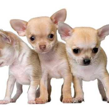 Chihuahua Puppies For Sale In Miami
