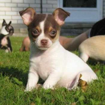 Chihuahua Puppies For Sale In New York