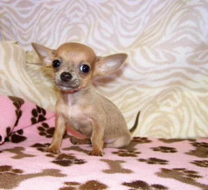 Chihuahua Puppies For Sale In Nh