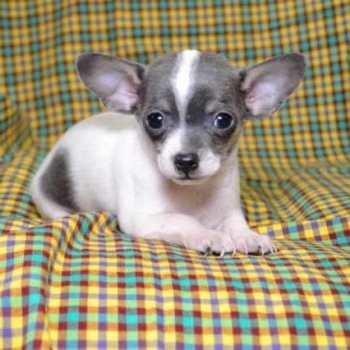 Chihuahua Puppies For Sale In Ohio