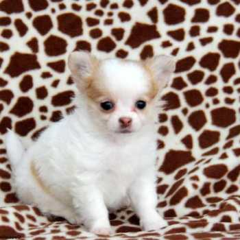 Chihuahua Puppies For Sale In Pa