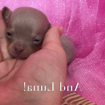 Chihuahua Puppies For Sale In Raleigh Nc