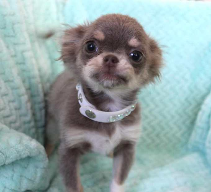 Chihuahua Puppies For Sale Las Vegas