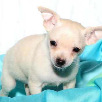 Chihuahua Puppies For Sale Long Island