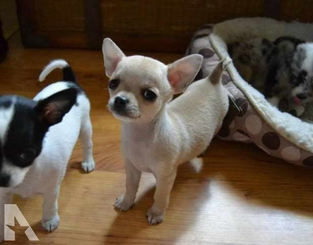 Chihuahua Puppies For Sale Mn