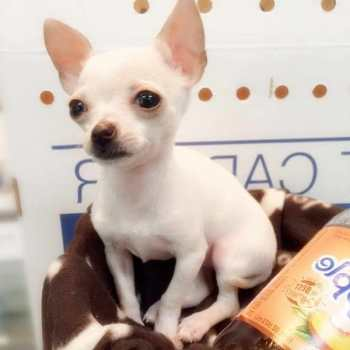 Chihuahua Puppies For Sale Nyc