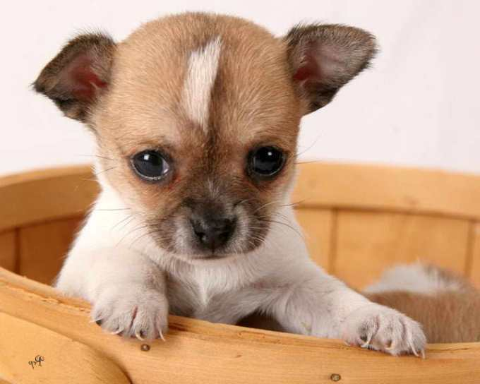 Chihuahua Puppies For Sale Ohio