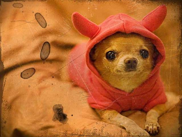 Chihuahua Puppies For Sale San Antonio