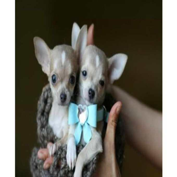 Chihuahua Puppies For Sale Syracuse Ny