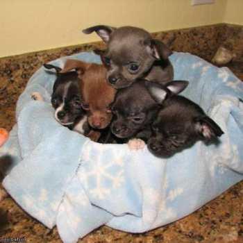 Chihuahua Puppies For Sale Tucson Az