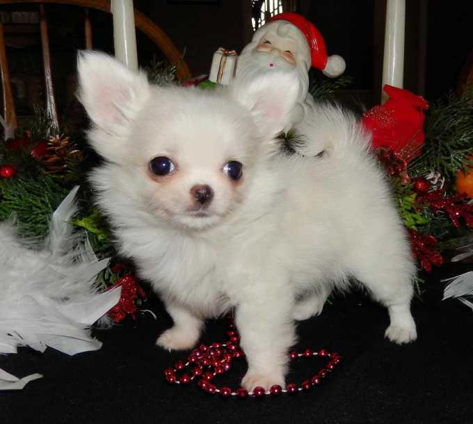 Chihuahua Puppies Illinois