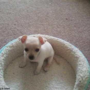 Chihuahua Puppies In Arkansas