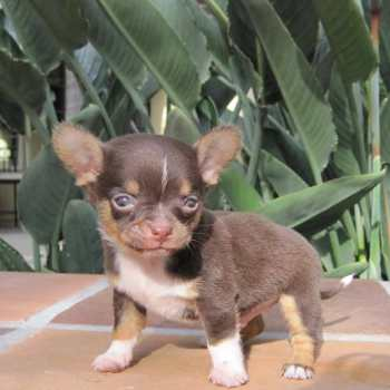 Chihuahua Puppies In Indiana