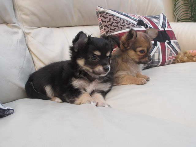 Chihuahua Puppies Long Hair