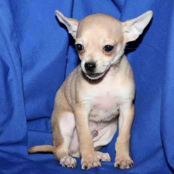 Chihuahua Puppies Long Island