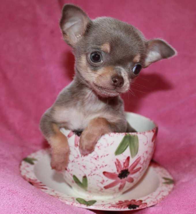 Chihuahua Puppies Ma