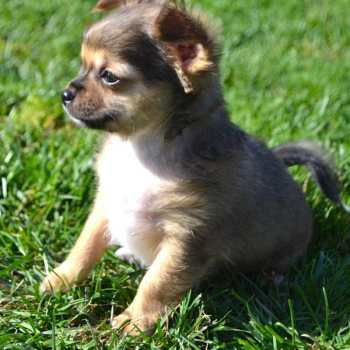 Chihuahua Puppies Maine