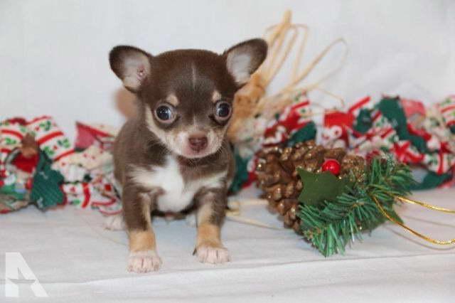 Chihuahua Puppies Michigan
