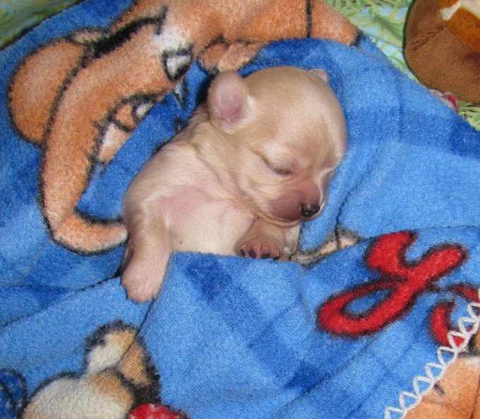 Chihuahua Puppies Ny