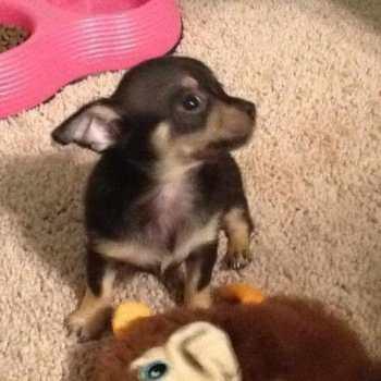 Chihuahua Puppies Sacramento