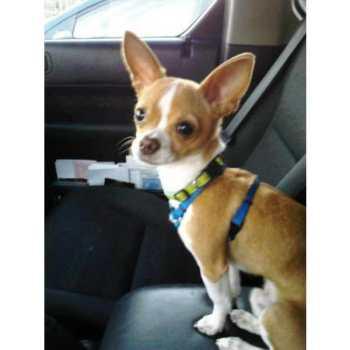 Chihuahua Puppies Salem Oregon
