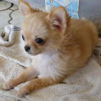 Chihuahua Puppies Springfield Mo