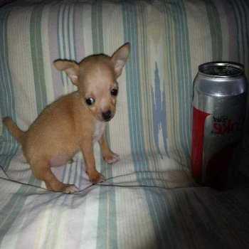 Chihuahua Puppies St Louis Mo
