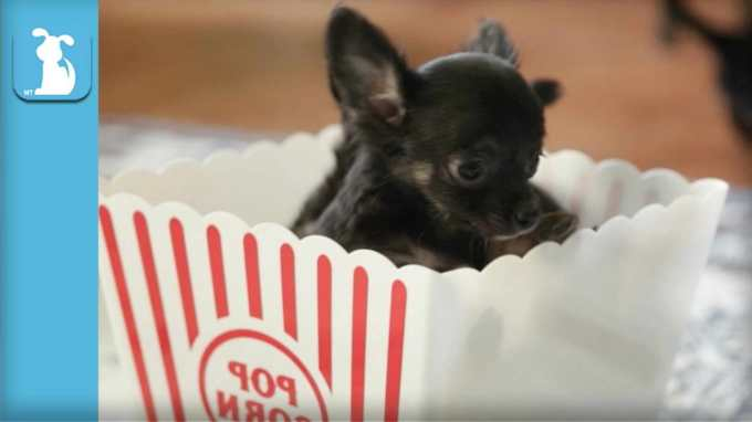 Chihuahua Puppies Video