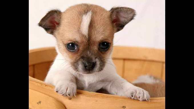 Chihuahua Puppies Videos