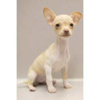 Chihuahua Puppies Wichita Ks